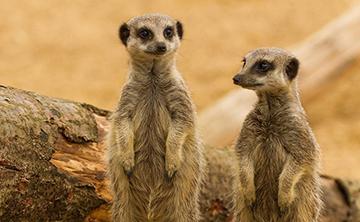 meerkat-buddies